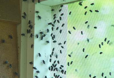 Fly & Fruit Fly Extermination Service by Leaf Pest Control